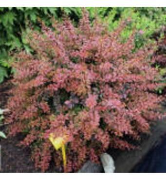 Прикрасьте свій сад: барбарис купити саджанці