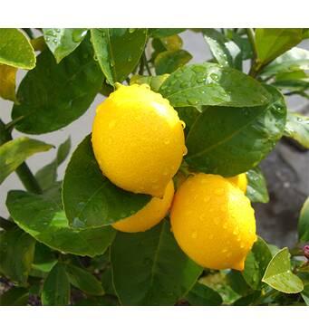 Предлагаем цитрусовые деревья недорого!