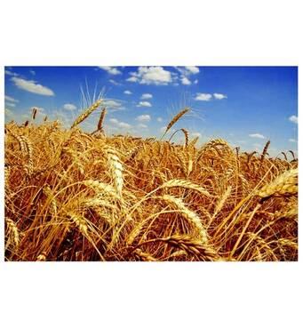 """Озимая пшеница Фаворитка от семеноводческого хозяйства """"МТД"""""""