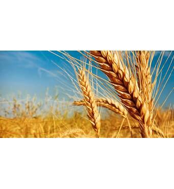 Купить элитные семена пшеницы в компании Орас!