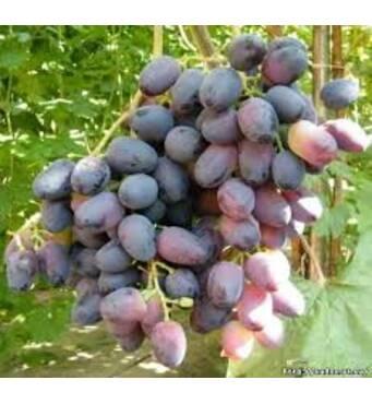 Приобретите сочный виноград