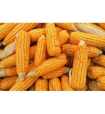 Купить кукурузу оптом можно в компании Орас!