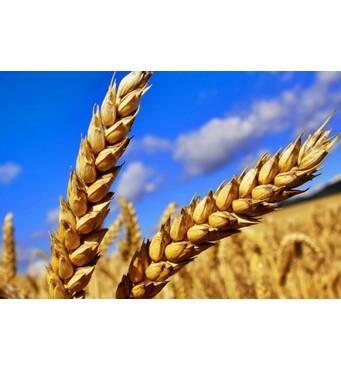 Предлагаем купить пшеницу второйкласс оптом