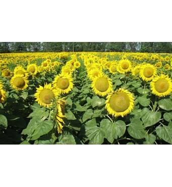 Качественные семена подсолнечника купить оптом