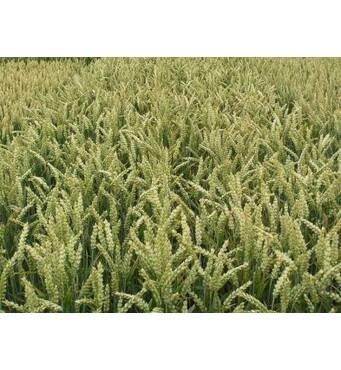 Различные сорта озимой пшеницы можно приобрести на нашем сайте