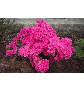 Азалія рожева за доступною ціною продається на нашому сайті