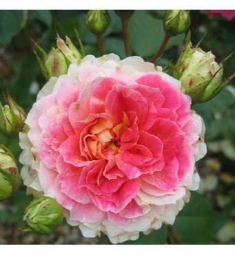 Пропонуємо замовити плетисту троянду Цезар