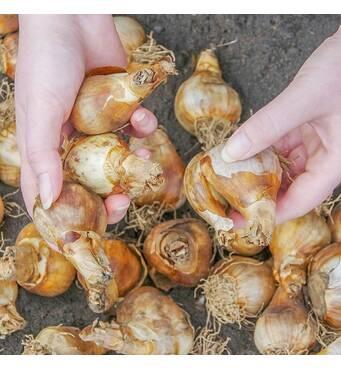 Замовляйте якісні цибулини квітів від перевірених постачальників