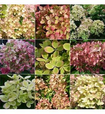 Кольорова гортензія для вашого саду на замовлення