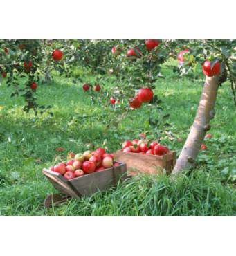 Елітні саджанці: купити саджанці яблунь Адаред, Білий Налив, Слава Переможцям