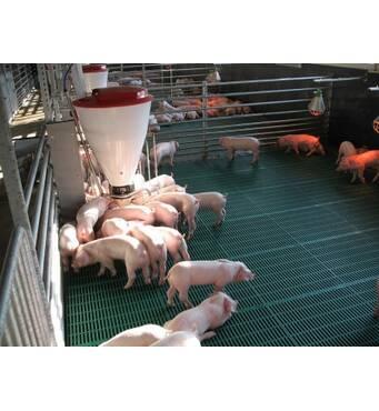 Селекціонер пропонує продаж свиней живою вагою