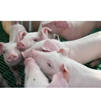 Воспользуйтесь услугой продажа свиней живым весом!