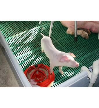 Вас цікавить продаж свиней живою вагою?