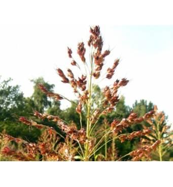Рослини для корму худоби: суданська трава. Для посушливого клімату