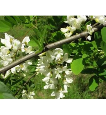 Целебные лечебные травы: акация цвет оптом, Украина, Запорожье. Покупайте здесь!