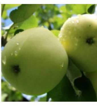 В ассортименте - саженцы яблони (цена доступна)