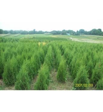 Вічнозелені дерева та кущі для вашого саду