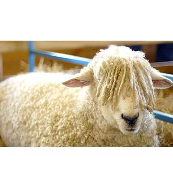 Продажа овец, баранов
