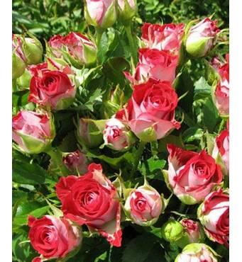 Роза Спрей Руби Стар (ОКН-2886) за 2-4 л