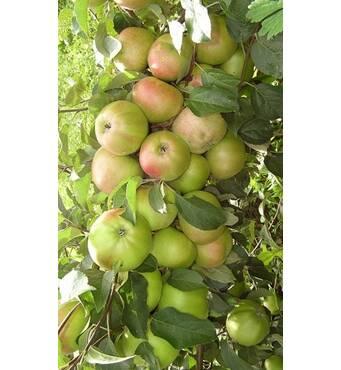 Яблуня колоновидна Піонер (ІЯБ-129-П2) за 2 шт.