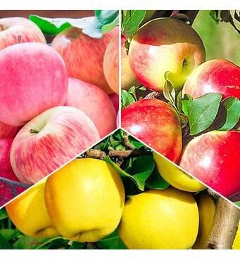 Комплект з 3-х яблонь разных цветов (ІЯБ-141)