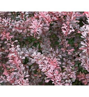 Барбарис Тунберга Rose glow (ОКН-594) за 0,5-1,5 л