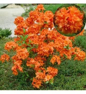 Азалия крупноцветковая GIBRALTAR за 2-4 л (ОКН-2971)