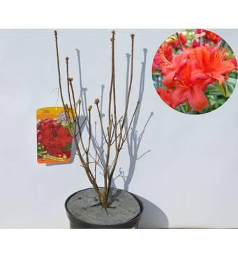 Азалія великоквіткова Red за 2-4 л (ОКН-2969)