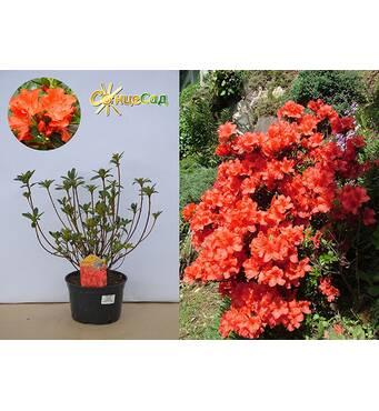 Азалия японская Geisha Orange за 2-4 л (ОКН-2960)