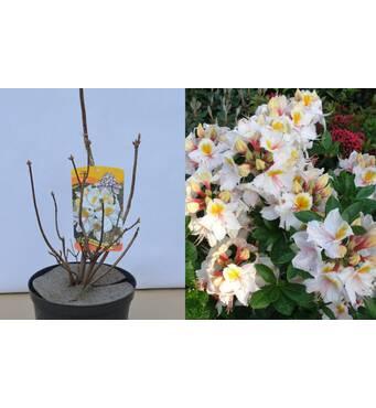Азалія великоквіткова Arima за 2-4 л (ОКН-2970)
