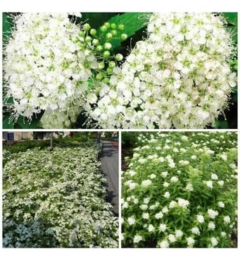 Спірея японська Albiflora (ОКН-2605) за 2-4 л
