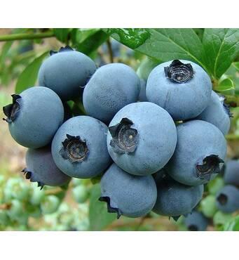 Голубика Рубель за 2-4 л (ОКН-2857)