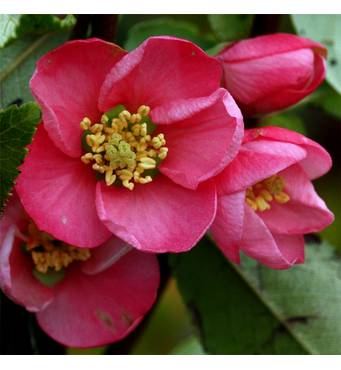 Хеномелес Pink Lady (2-4 л)