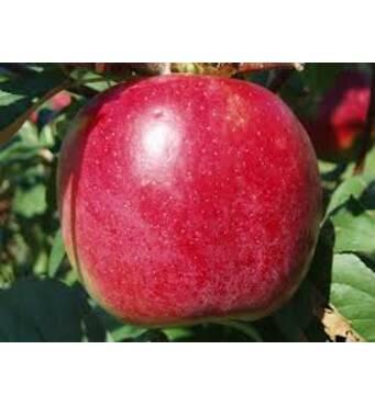 Яблоки Эрли Женева
