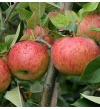 Яблука Топаз