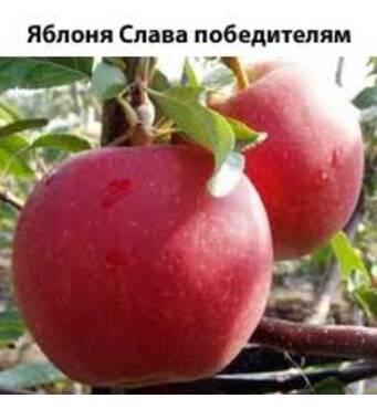 Яблука Слава Переможцям