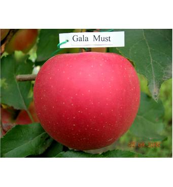Яблука Гала Маст