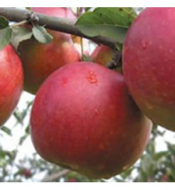 Саженцы яблони - Джонаголд
