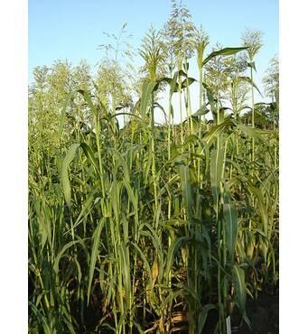 Насіння Суданська трава