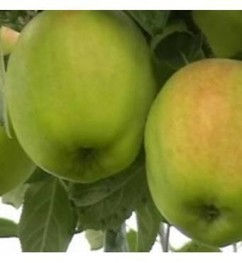 Саженцы яблони - Кальвиль снежный