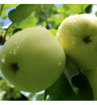 Саженцы яблони Белый налив (Папировка)
