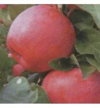 Саженцы яблони - Теремок