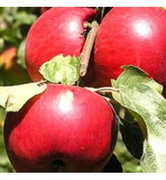 Саженцы яблони Катерина