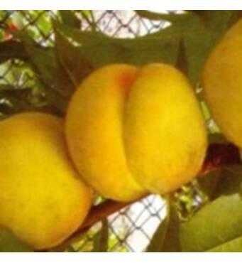 Саженцы персика - Донецкий желтый