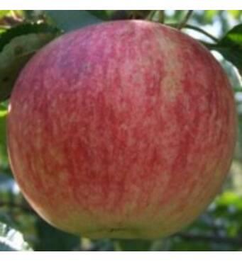 Саженцы яблони - Слава победителям