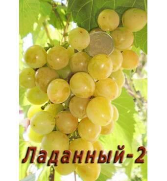 """Саджанець винограду """"Ладаний-2"""""""