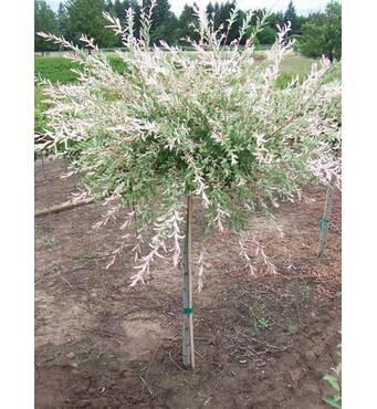 Ива Salix integra 'Hakuro-Nishiki'