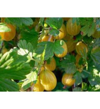Агрус Хинномаки желтый