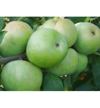 Яблука сорту Ренет Симиренка