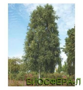 Береза повислая Фастигиата (Betula pendula Fastigiata)